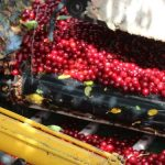 Cherry Harvest at Amos Orchards
